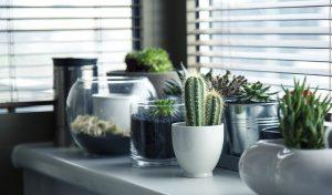 Cacti on the window