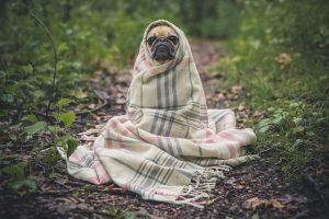A pug wrapped up in a blanket.