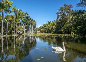 Swan in a Lake.