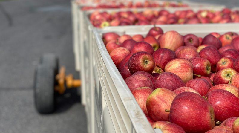 Apples packed in plastic bins.