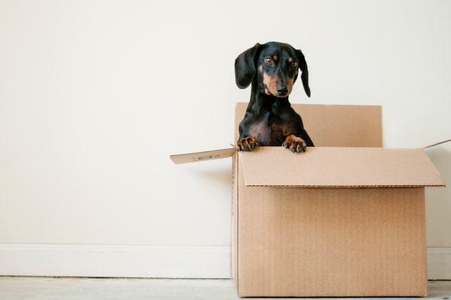 A black and brown Dachshund sitting in the box