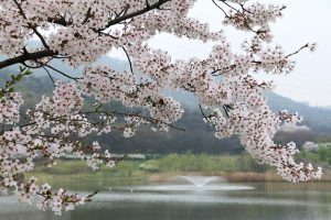 Cherry tree in the spring.